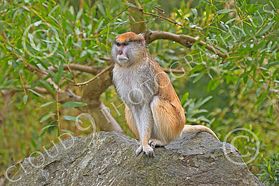 Patas Monkey 00024 A mature patas monkey sits on a rock, by Peter J Mancus