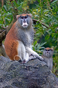 Patas monkey 00004 by Peter J Mancus