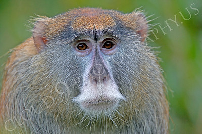 Patas monkey 00008 by Peter J Mancus