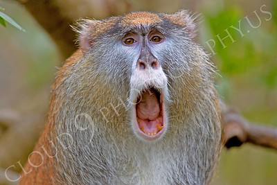 Patas monkey 00014 by Peter J Mancus