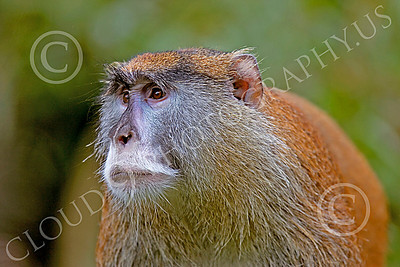 Patas Monkey 00026 A worried looking mature patas monkey, by Peter J Mancus