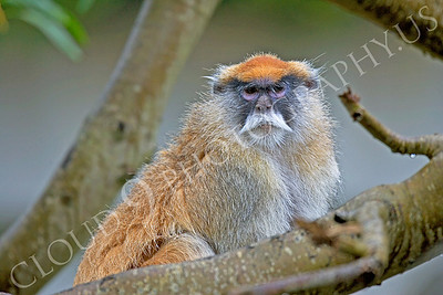Patas monkey 00018 by Peter J Mancus