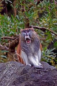 Patas monkey 00013 by Peter J Mancus