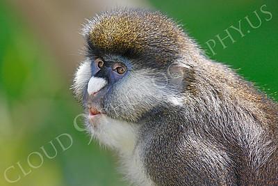Schmidt's Spot-nosed Guenon 00004 A Schmidt's Spot-nosed Guenon by Peter J Mancus