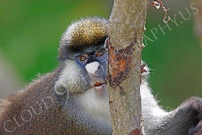 Schmidt's Spot-nosed Guenon 00003 by Peter J Mancus