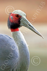 White-Naped Crane 00003 Close up portrait of white-naped crane, by Peter J Mancus
