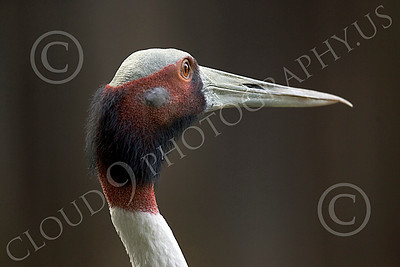 White-Naped Crane 00004 Close up portrait of white-naped crane, by Peter J Mancus