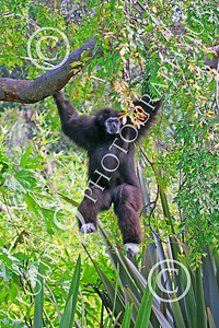 White-Handed (Lar) Gibbon 00003 A mature white-handed (lar) gibbon swings in a tree, by Peter J Mancus