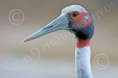 White-Naped Crane 00001 Close up portrait of white-naped crane, by Peter J Mancus