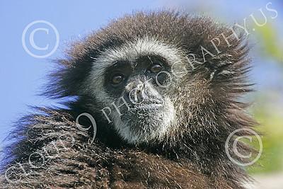 White-Handed (Lar) Gibbon 00014 Close up portrait of a mature white-handed (lar) gibbon in a tree, by Peter J Mancus
