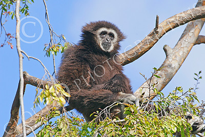 White-Handed (Lar) Gibbon 00002 A mature white-handed (lar) gibbon in a tree, by Peter J Mancus