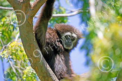 White-Handed (Lar) Gibbon 00013 A mature female white-handed (lar) gibbon in a tree, by Peter J Mancus