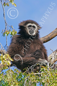 White-Handed (Lar) Gibbon 00007 A mature white-handed (lar) gibbon sitting in a tree, by Peter J Mancus