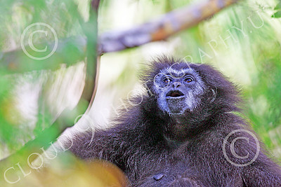 White-Handed (Lar) Gibbon 00005 A mature white-handed (lar) gibbon in a tree, by Peter J Mancus