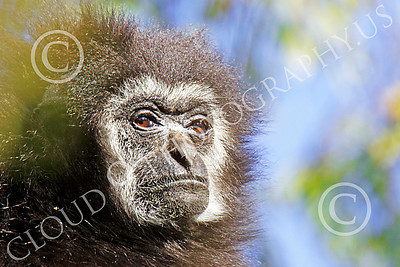White-Handed (Lar) Gibbon 00012 Close up portrait of a mature female white-handed (lar) gibbon with a dour expression, by Peter J Mancus
