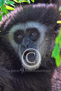 AN - White Face Gibbon 00024 by Peter J Mancus