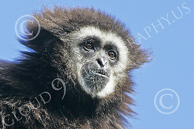 White-Handed (Lar) Gibbon 00006 A mature white-handed (lar) gibbon high in a tree looks down, by Peter J Mancus
