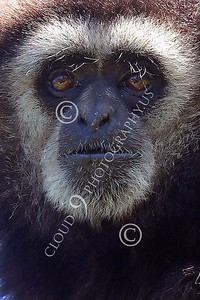 AN - White Face Gibbon 00003 by Peter J Mancus