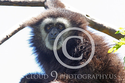 AN - White Face Gibbon 00002 by Peter J Mancus