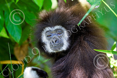 White-Handed (Lar) Gibbon 00015 Close up portrait of a mature female white-handed (lar) gibbon in a tree, by Peter J Mancus