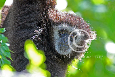 AN - White Face Gibbon 00004 by Peter J Mancus