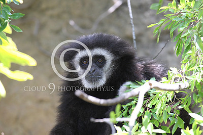 AN - White Face Gibbon 00005 by Peter J Mancus