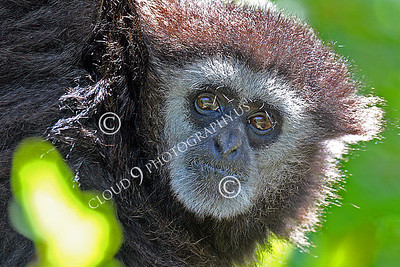 AN - White Face Gibbon 00020 by Peter J Mancus
