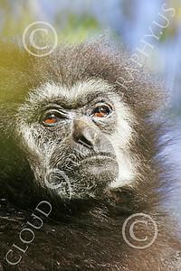 White-Handed (Lar) Gibbon 00011 Close up portrait of a mature female white-handed (lar) gibbon, by Peter J Mancus