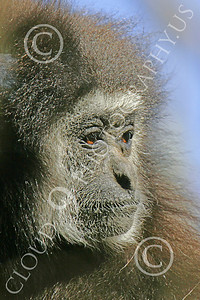 White-Handed (Lar) Gibbon 00009 Close up portrait of a mature female white-handed (lar) gibbon, by Peter J Mancus