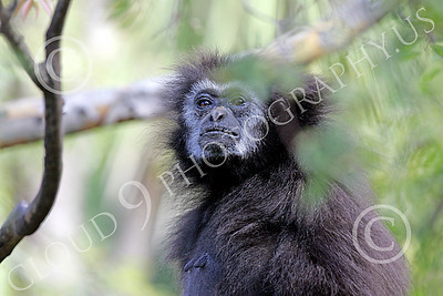 White-Handed (Lar) Gibbon 00001 A mature white-handed (lar) gibbon in a tree by Peter J Mancus