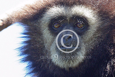 AN - White Face Gibbon 00034 by Peter J Mancus