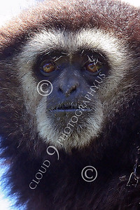 AN - White Face Gibbon 00018 by Peter J Mancus