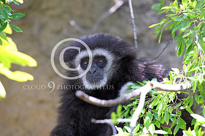 AN - White Face Gibbon 00026 by Peter J Mancus