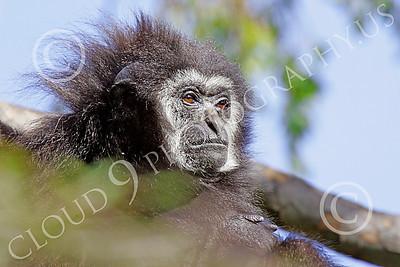 White-Handed (Lar) Gibbon 00010 Close up portrait of a mature female white-handed (lar) gibbon in a tree, by Peter J Mancus