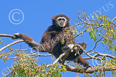 White-Handed (Lar) Gibbon 00004 A mature white-handed (lar) gibbon relaxes high in a tree, by Peter J Mancus