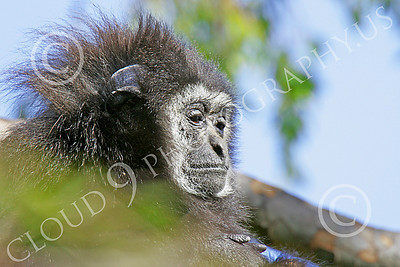 White-Handed (Lar) Gibbon 00008 A mature white-handed (lar) gibbon in a tree, by Peter J Mancus