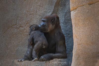 lowland Gorillas Y& silverbacks