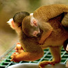 Spider Monkey carrying her baby