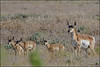 Pronghorn Antelope and her triplets