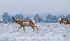 Male pronghorn antelope with one member of his harem
