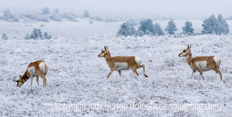 If you view this image in the larger sizes, you'll be able to see the beginnings of a rack on the middle pronghorn.