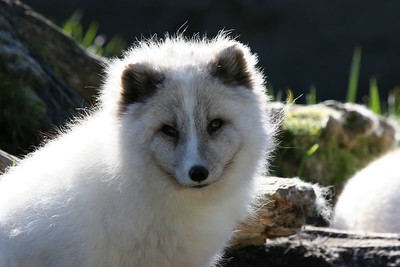 Arctic Fox at Pt Defiance Zoo