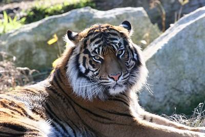 Tiger at Pt Defiance Zoo