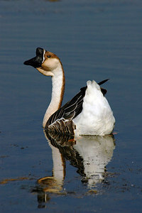 _DSC0318-Goose-4x6