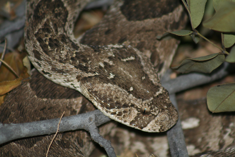 Puff adder that the mongooses found. I was not as close as the picture looks, thanks to my zoom lens.