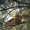 angry pel's fishing owl