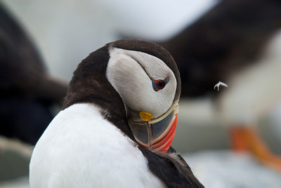 One of my favorites, with the feather floating up as the puffin grooms.