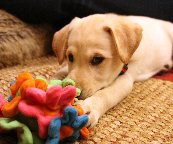 """Cooper<br /> Another puppy that we fostered for ACT V  <a href=""""http://www.actvrescue.org/home.html"""">http://www.actvrescue.org/home.html</a>).  His mother was a lab that was chained up in somebody's yard.  While chained up she got knocked up.  ACT V convinced the owner to give her up. She had 11 puppies, of which, 8 survived.  While he was only with us a few days, little Cooper brought us a lot of joy."""