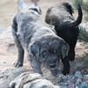 Puppies-250