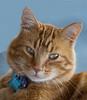 _N9A0222 tabby cat  Idaho
